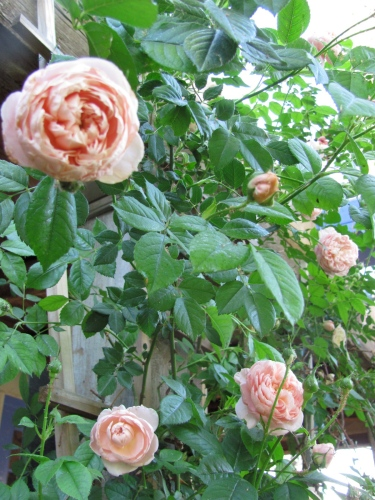 The sweetest smelling soft country roses outside my front door