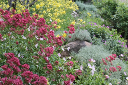 Desert in Bloom- Great mix for shade and desert dry hardy! Columbine(yellow), Jupiters beard(red) Mexican Primrose (pink)