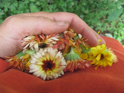 Fresh picked Calendula in my hand