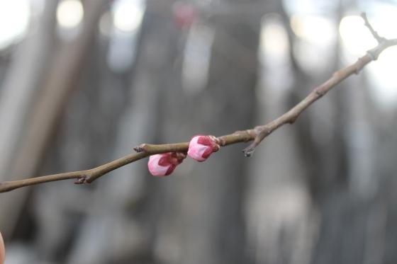 Apricot Bud